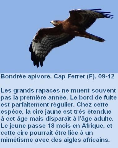 Pernis_apivores_age1.jpg