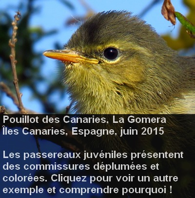 Phylloscopus_canariensis_age1fr