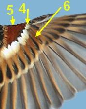 ailes_Passer_hispaniolensis