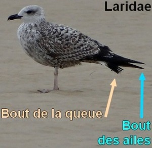 laridae1_le2
