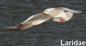 laridae2_le2