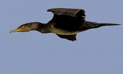 Phalacrocorax_carbo1_le2