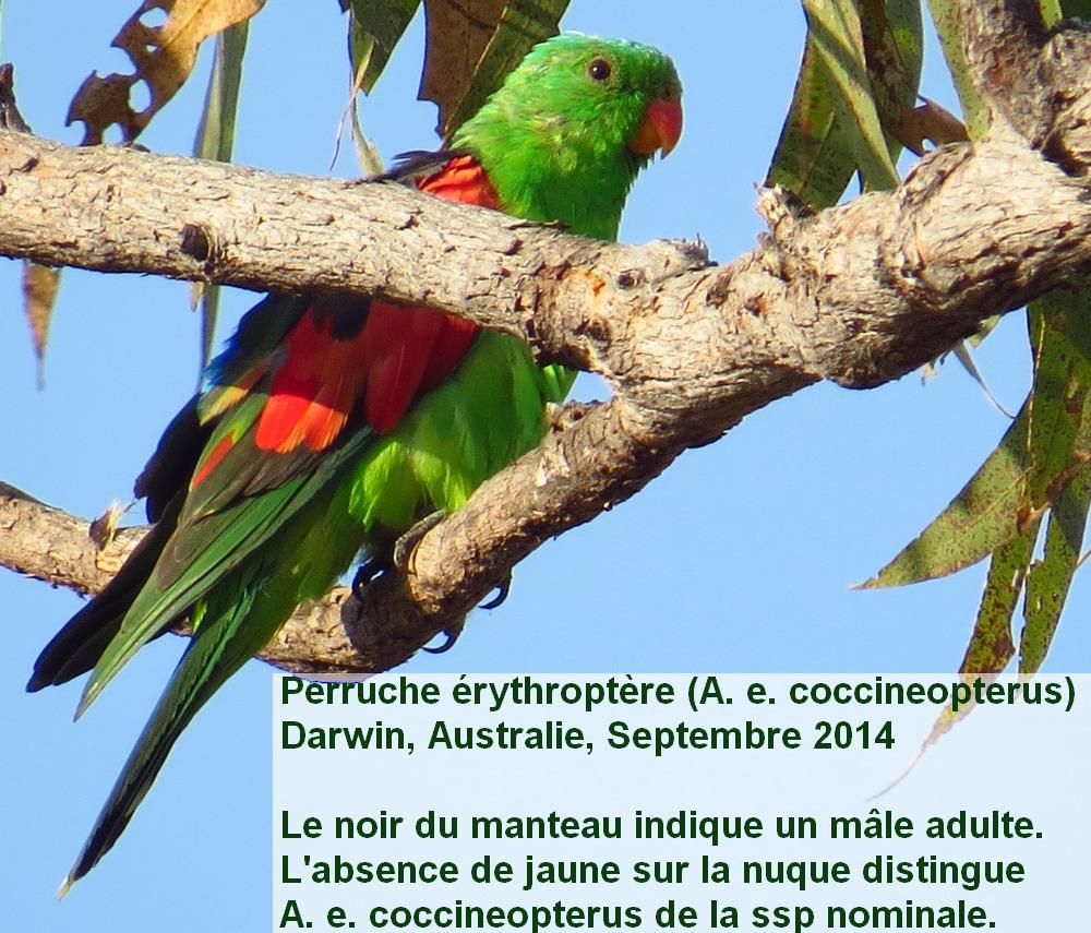 Aprosmictus_erythropterus_1fr.jpg