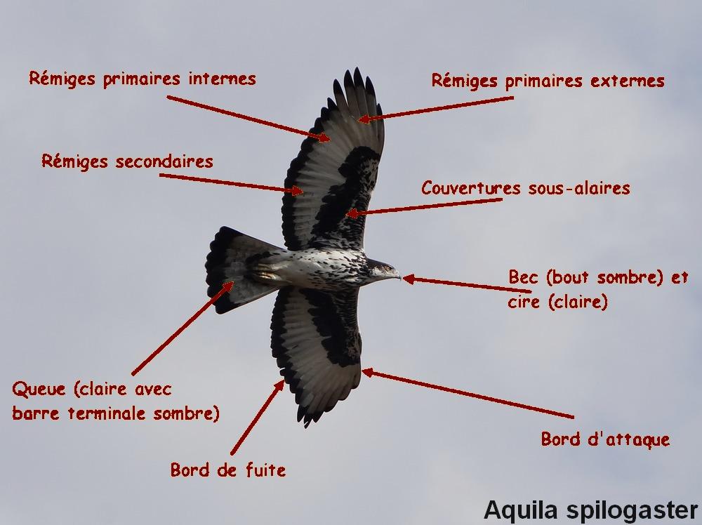Aquila_fasciata_l1fr.jpg