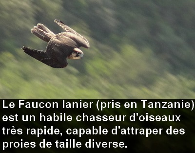 Falco_biarmicus_chasse