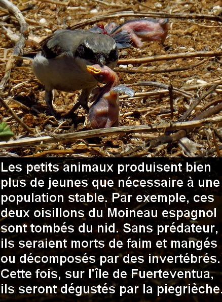 lanius_elegans_keonigi_chasse