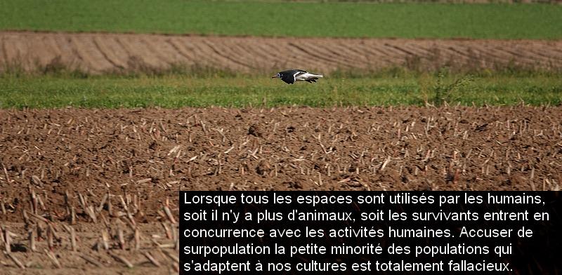 larus_fuscus_bel_chasse