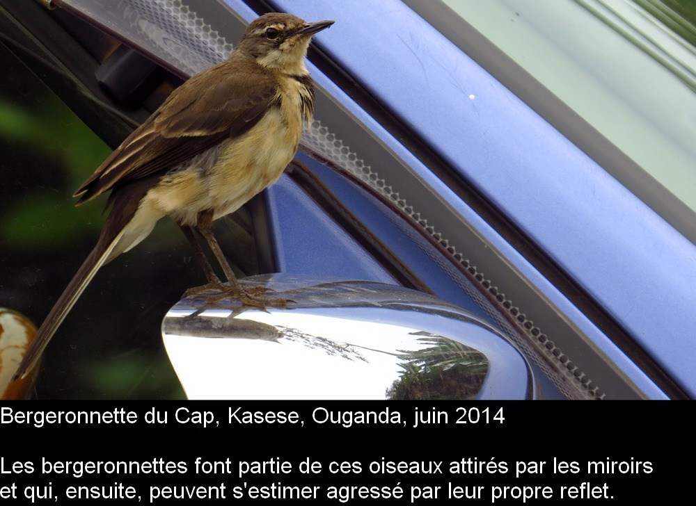 Motacilla_capensis_1frug.jpg