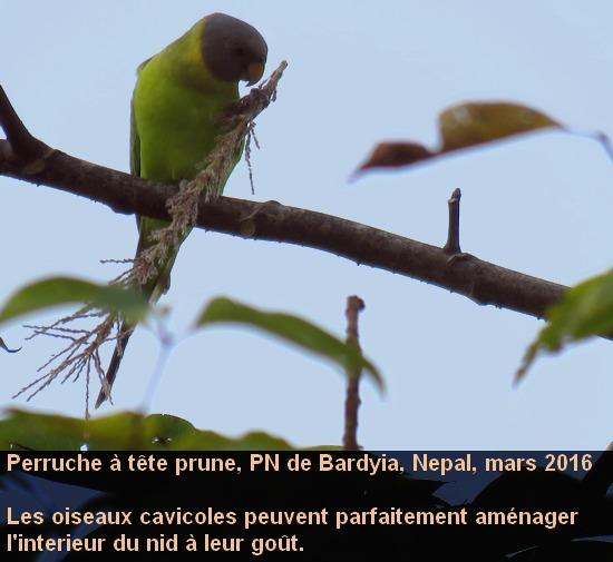 Psittacula_cyanocephala_2fr