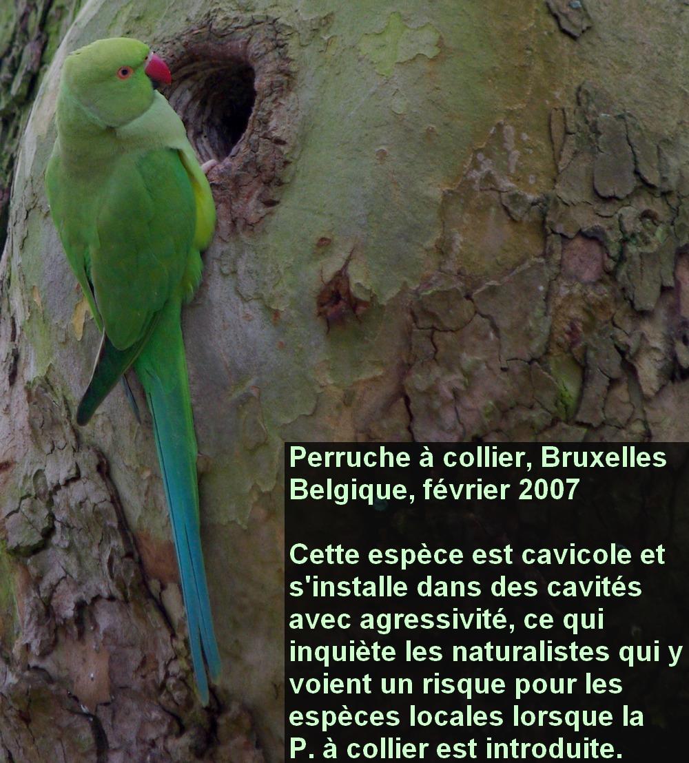 Psittacula_krameri_fr1.jpg
