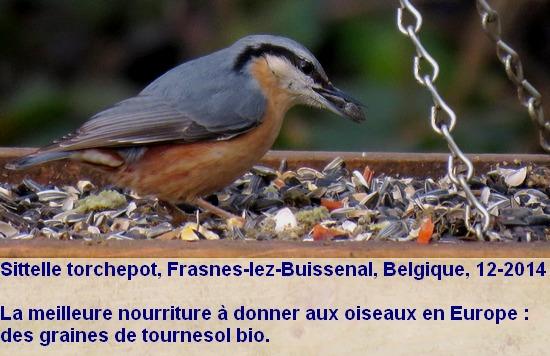 sitta_europaea_nourriture1.JPG