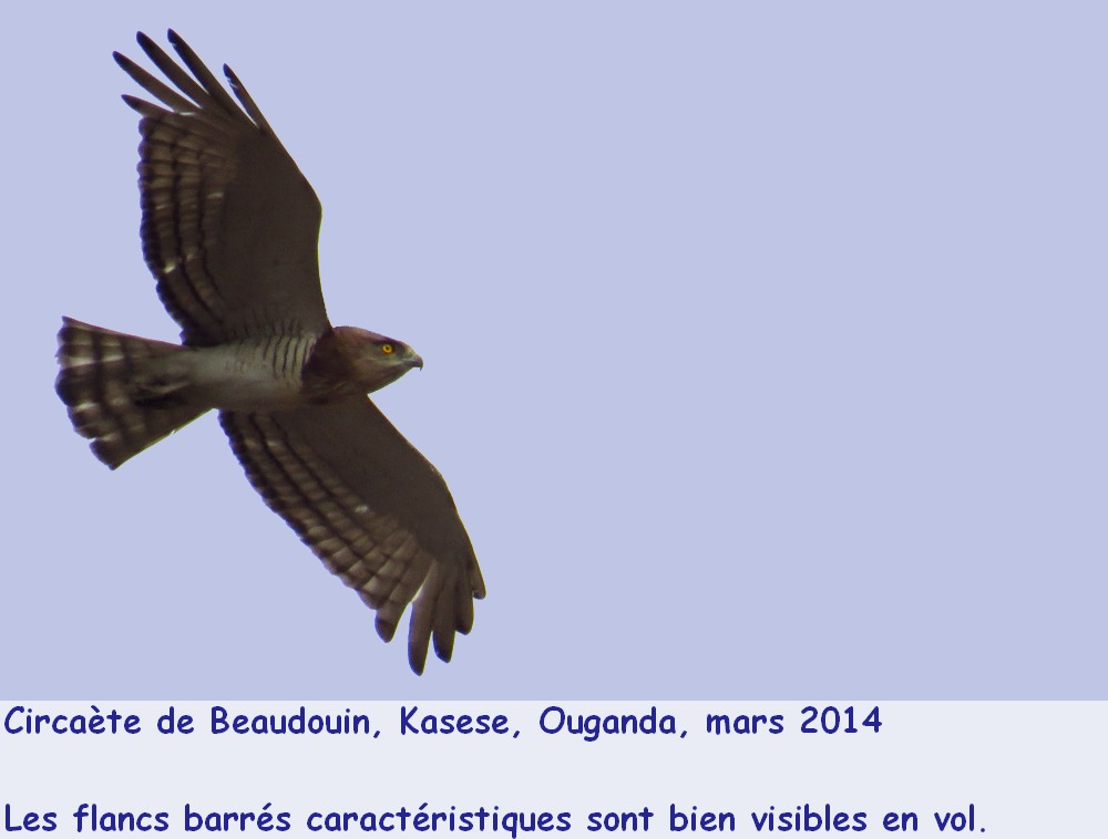 Circaetus_beaudouini_1fr