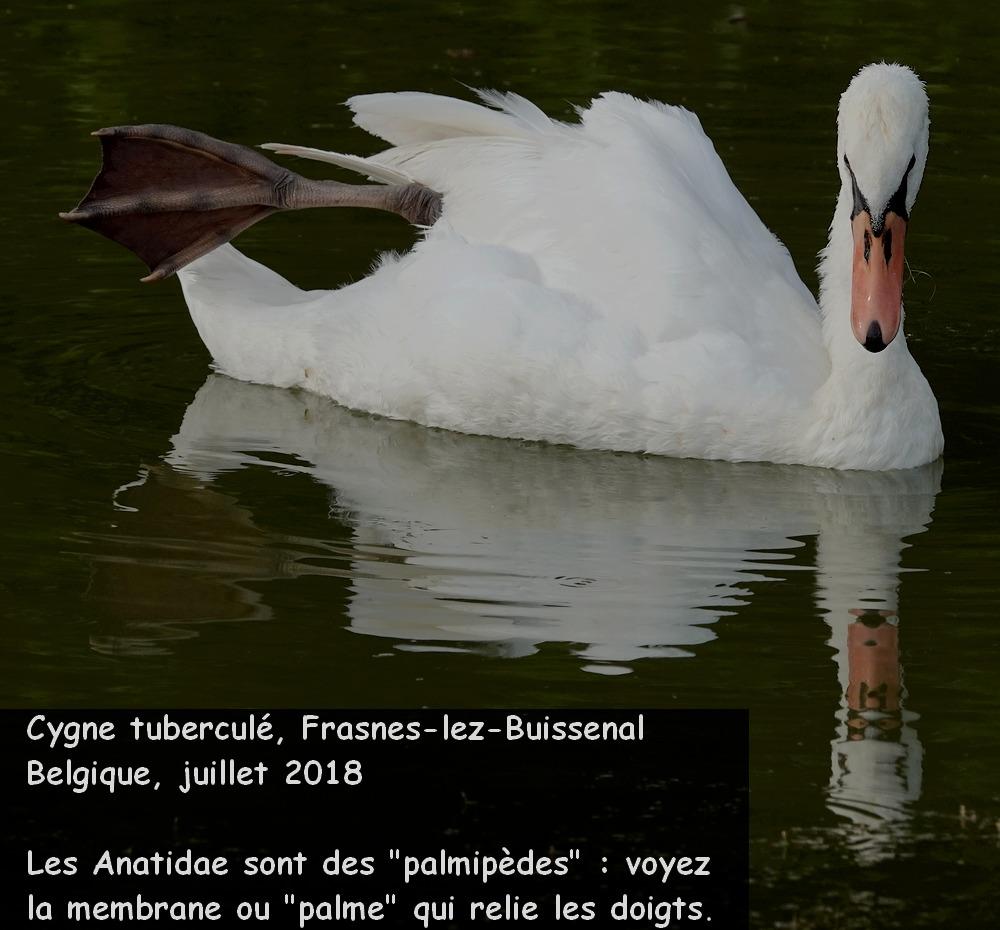 Cygnus_olor_fr5