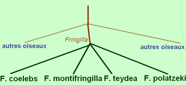 fringilla_clades1