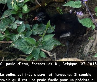 Gallinula_chloropus_6fr