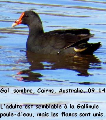 Gallinula_tenebrosa_1fr