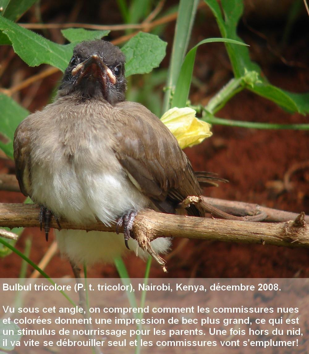 Pycnonotus_tricolor15