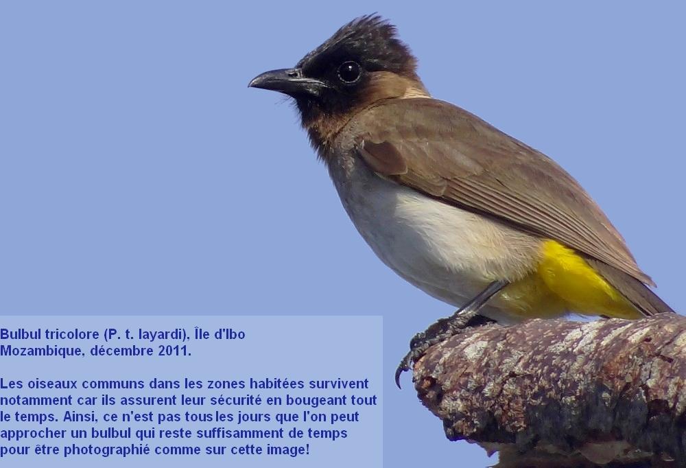 Pycnonotus_tricolor17