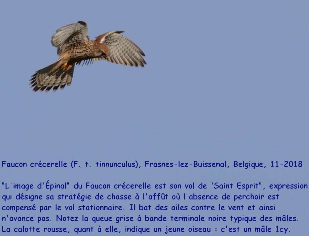 Falco_tinnunculus_1fr