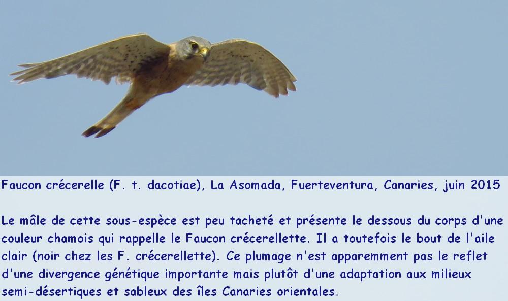 Falco_tinnunculus_6fr