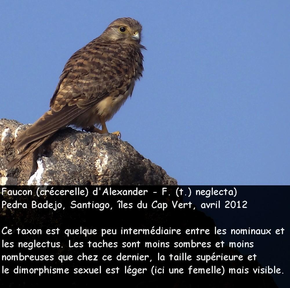 Falco_tinnunculus_8fr