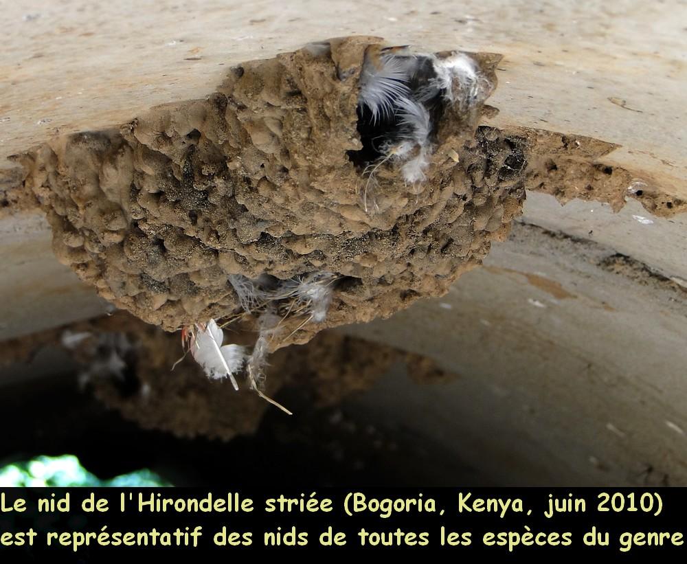 cecropis_abyssinica_2kefr