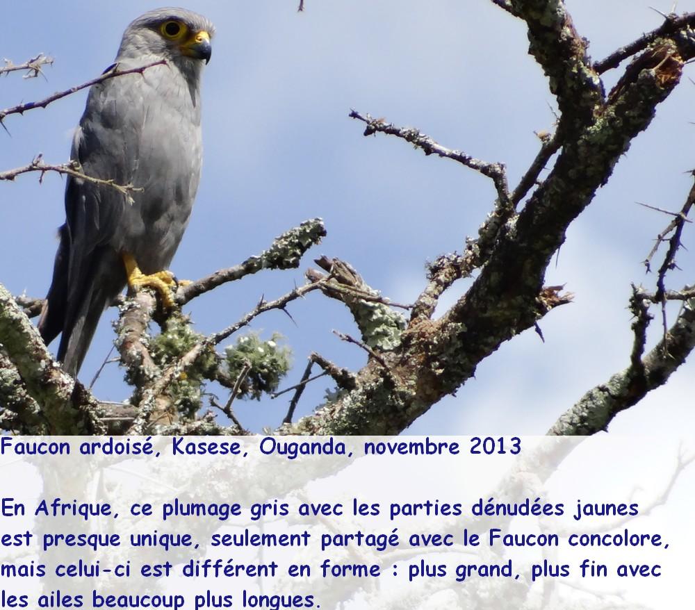 falco_ardosiaceus_1fr