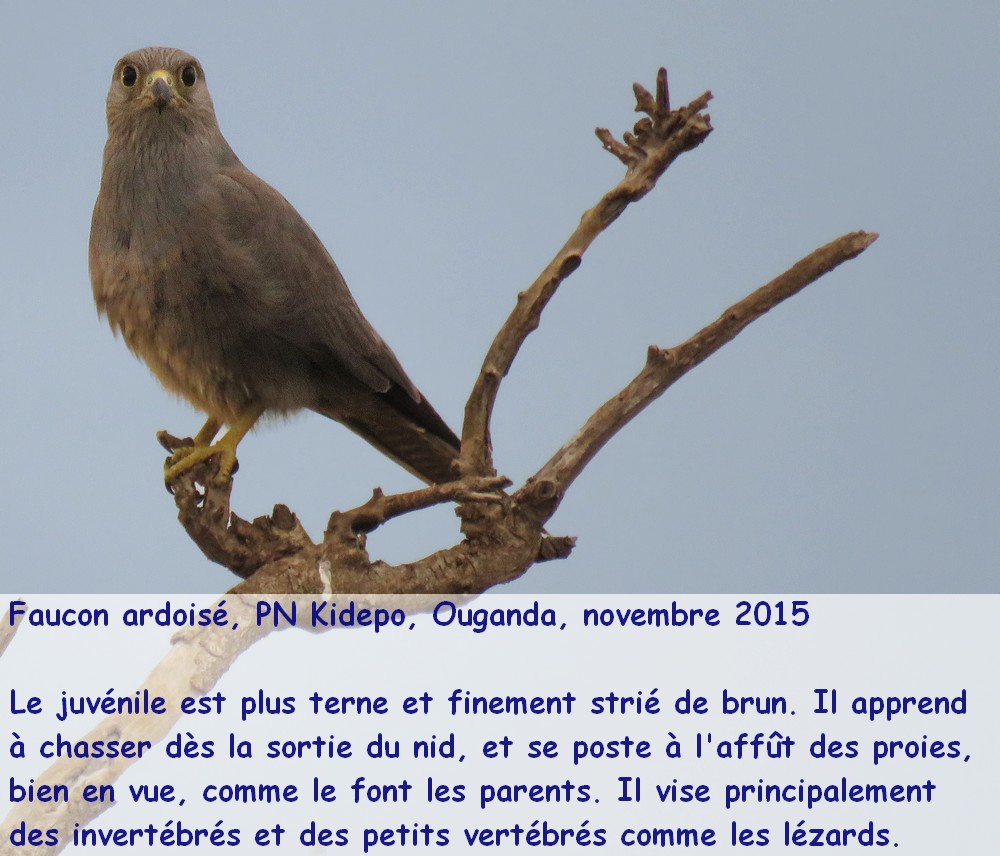 falco_ardosiaceus_2ugfr