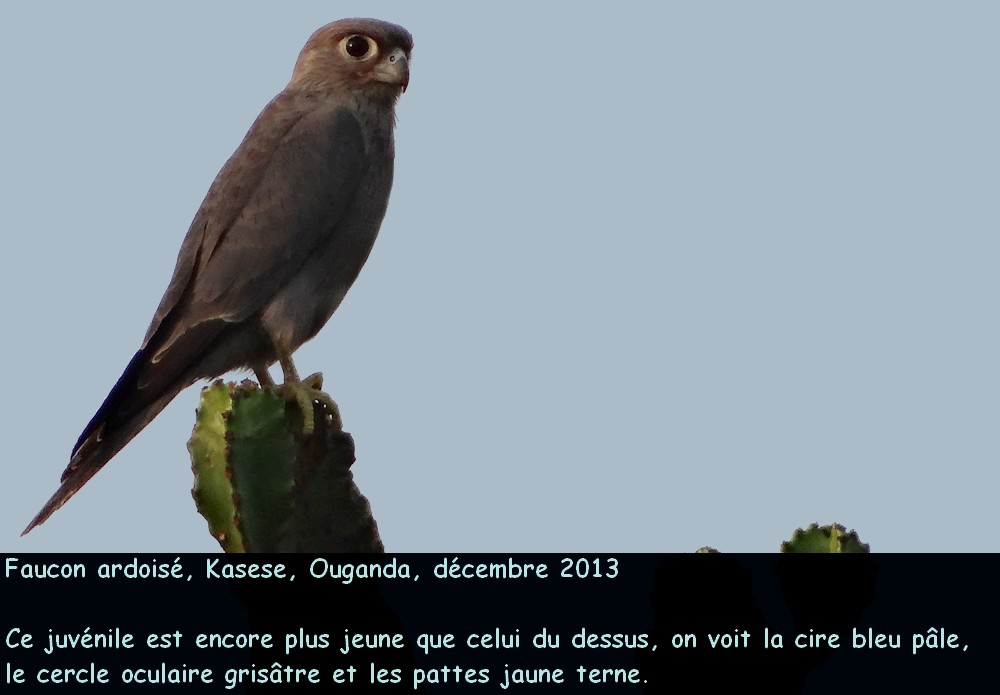 Falco_ardosiaceus_3fr.jpg