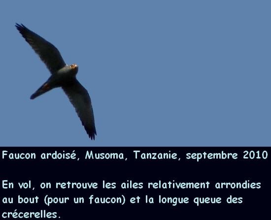 falco_ardosiaceus_4fr