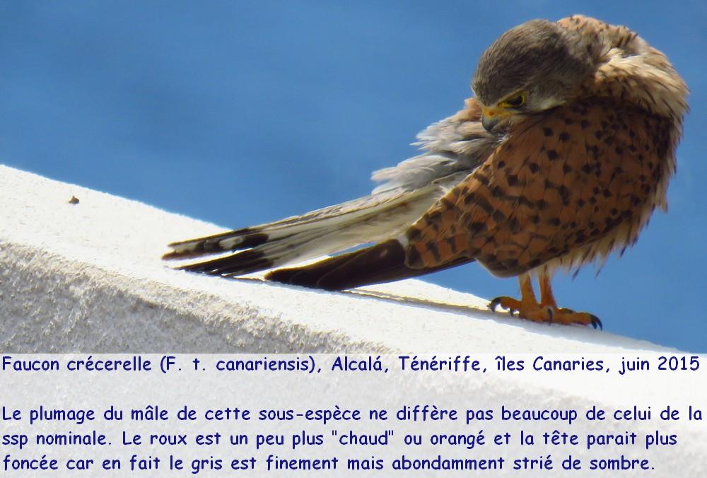 falco_tinnunculus_5fr