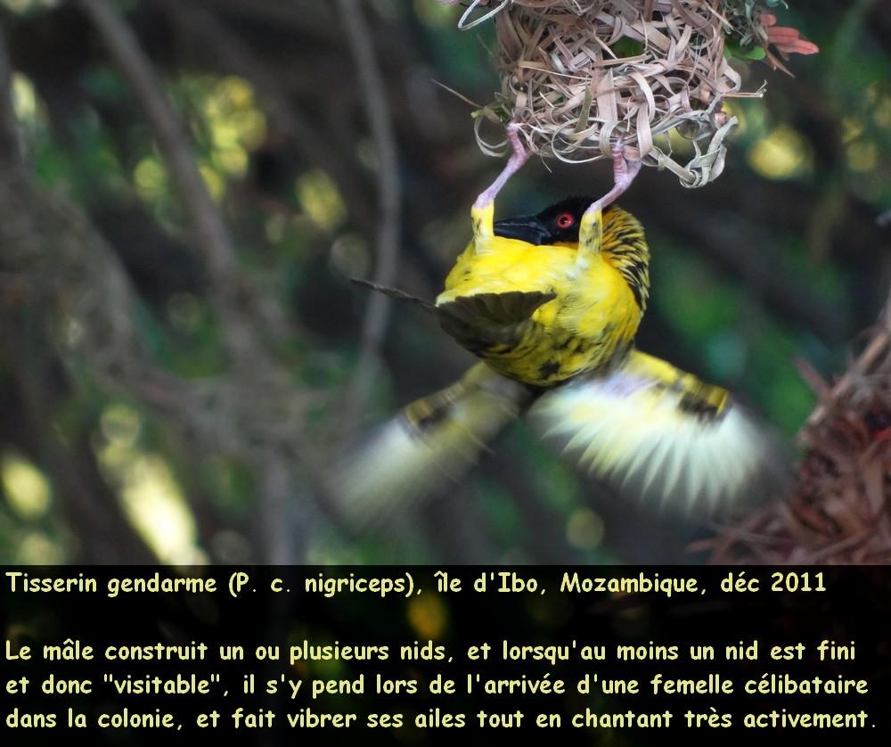 ploceus_cucullatus_4fr