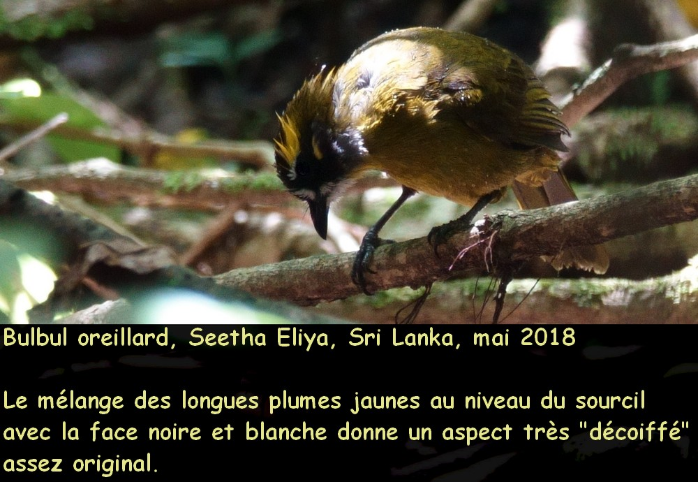 pycnonotus_penicillatus_2fr