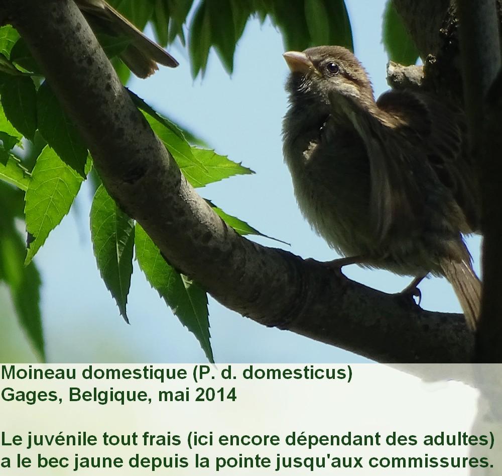 Passer_domesticus_8fr