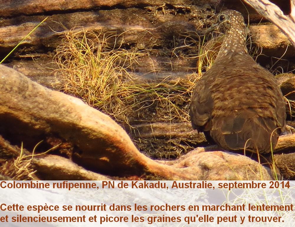 Petrophassa_rufipennis_2fr