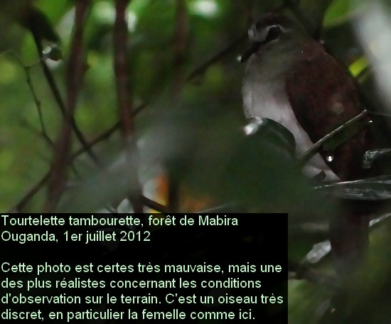 Turtur tympanistria_1fr