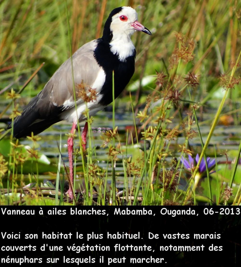 Vanellus_crassirostris_1fr