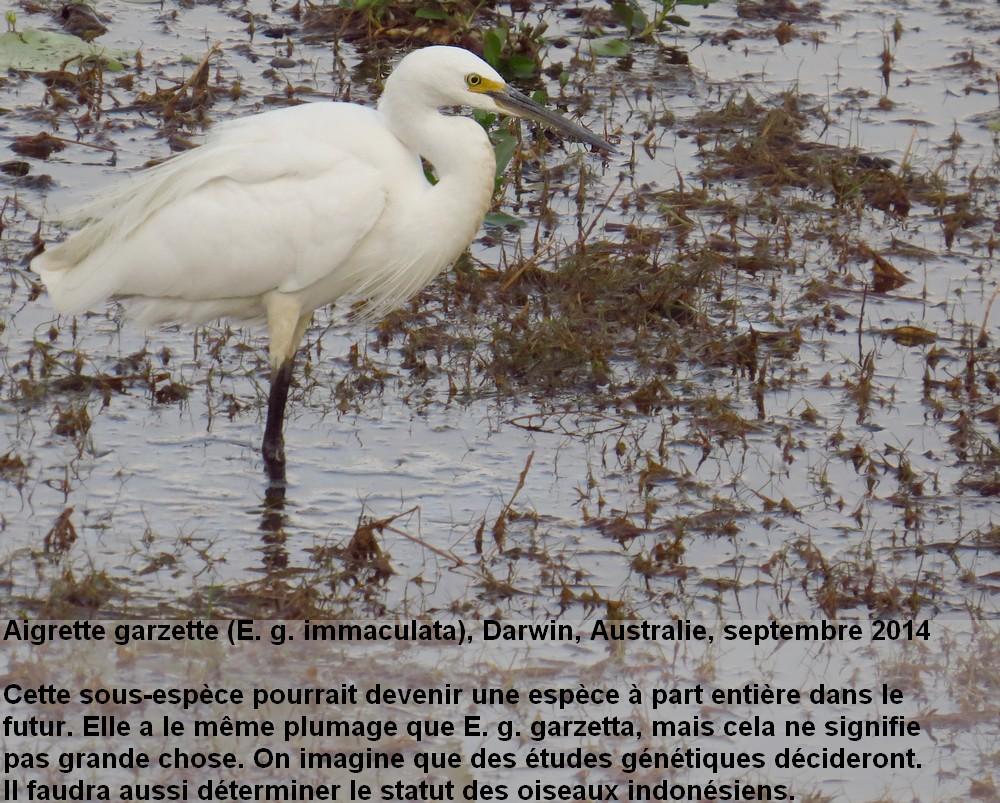 Egretta_garzetta12