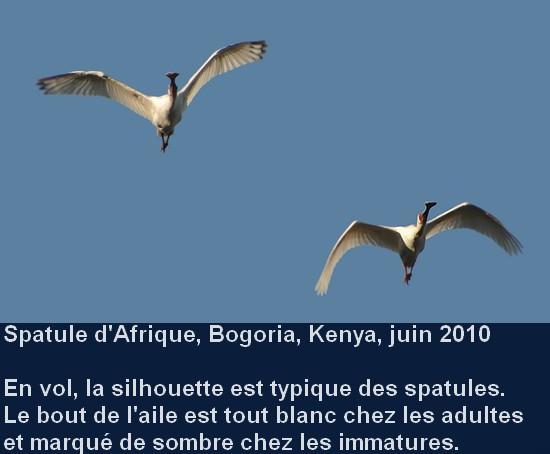 Platalea_alba_6fr.jpg