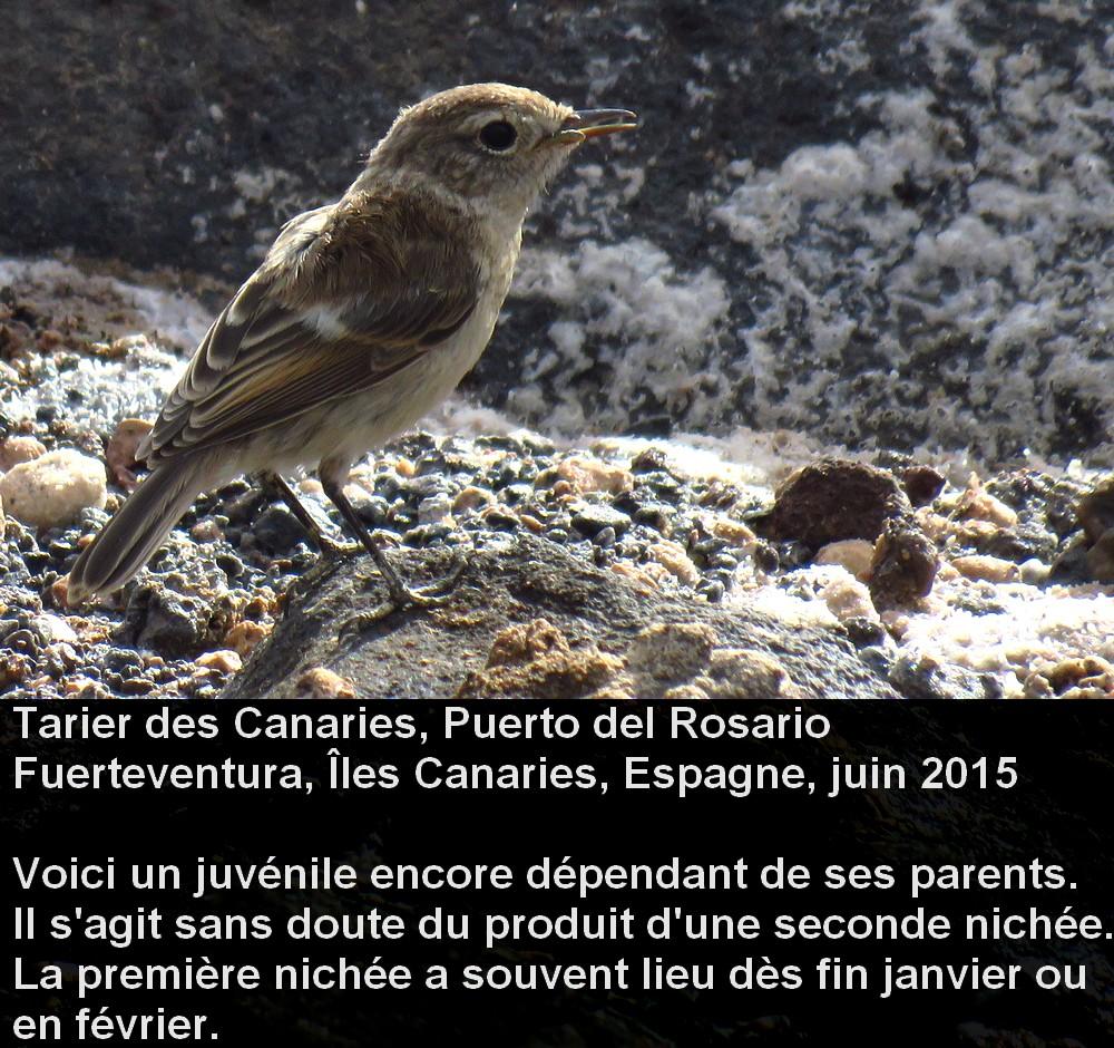 Saxicola_dacotiae_5fr.jpg