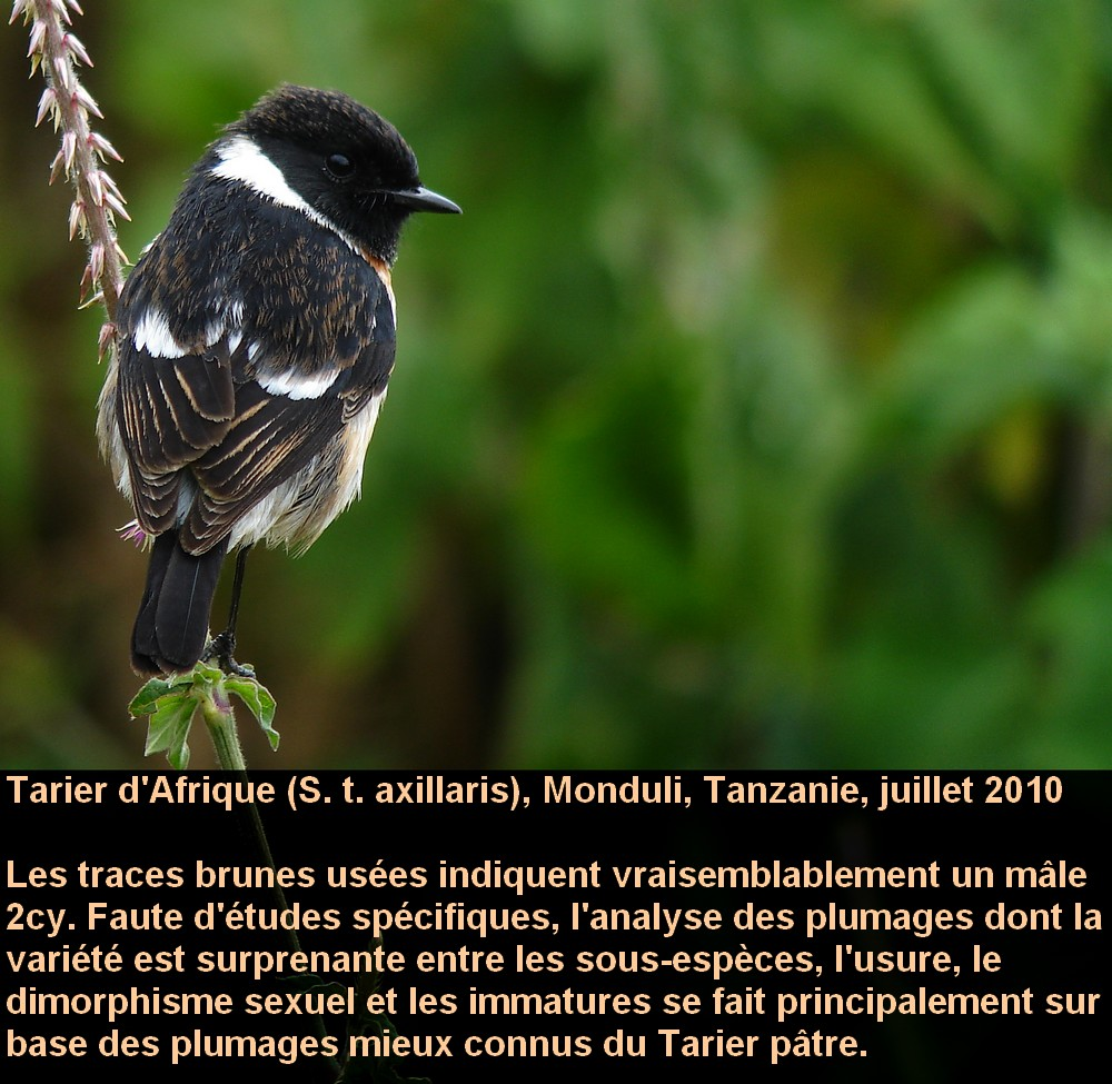 Saxicola_torquata_3fr