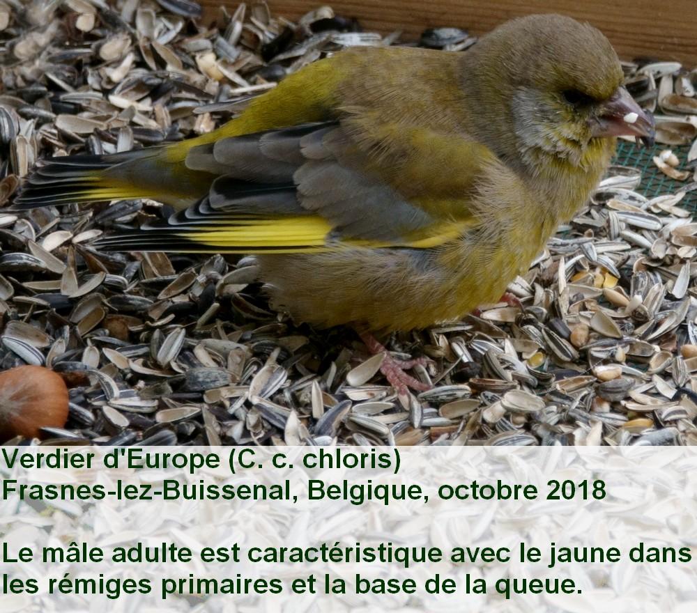 Chloris_chloris_6fr.jpg