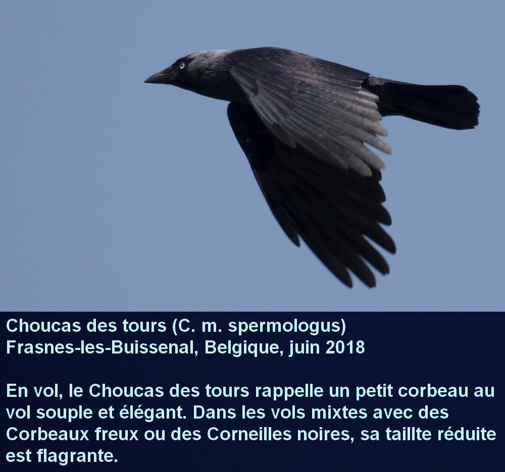 Coloeus_monedula_9fr.jpg
