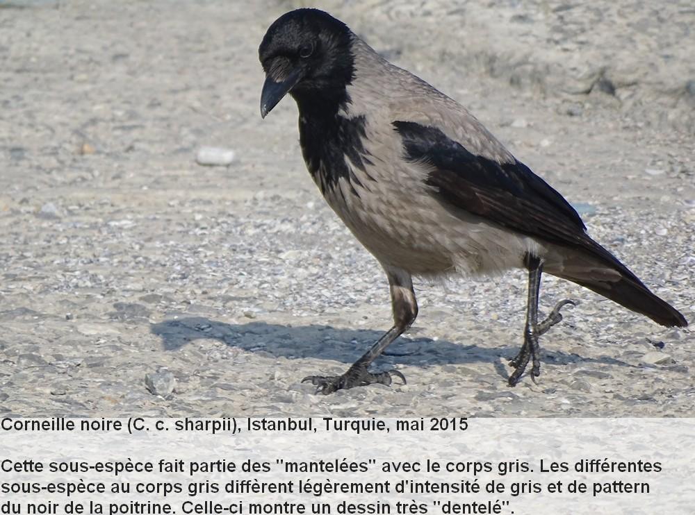 Corvus_corone_1fr