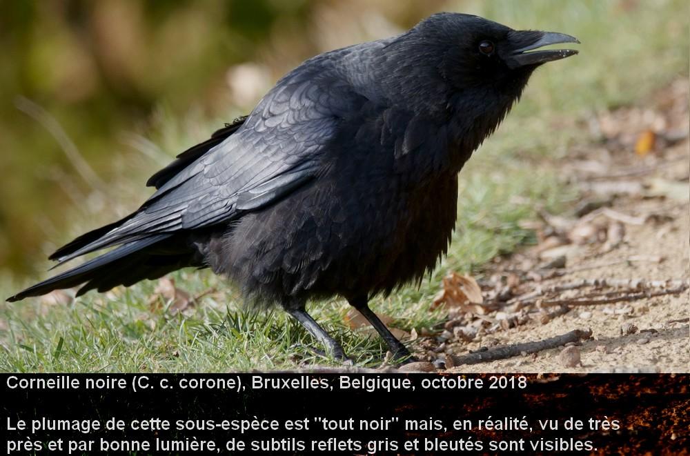 Corvus_corone_4fr.jpg