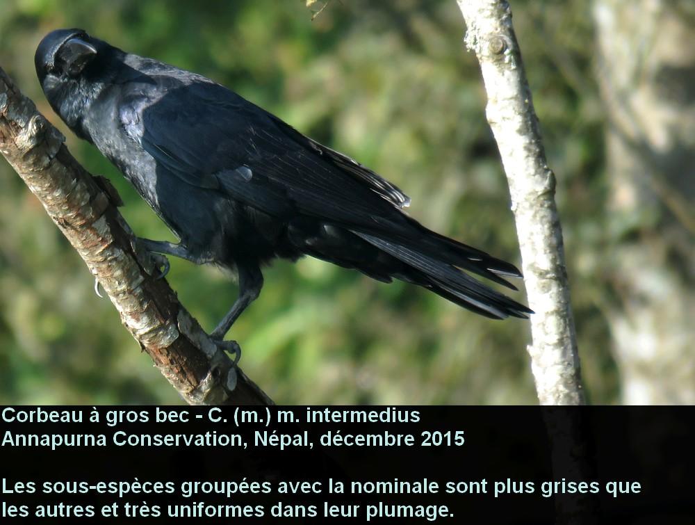 Corvus_macrorhynchos_1fr.jpg