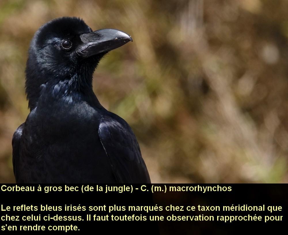 Corvus_macrorhynchos_2fr