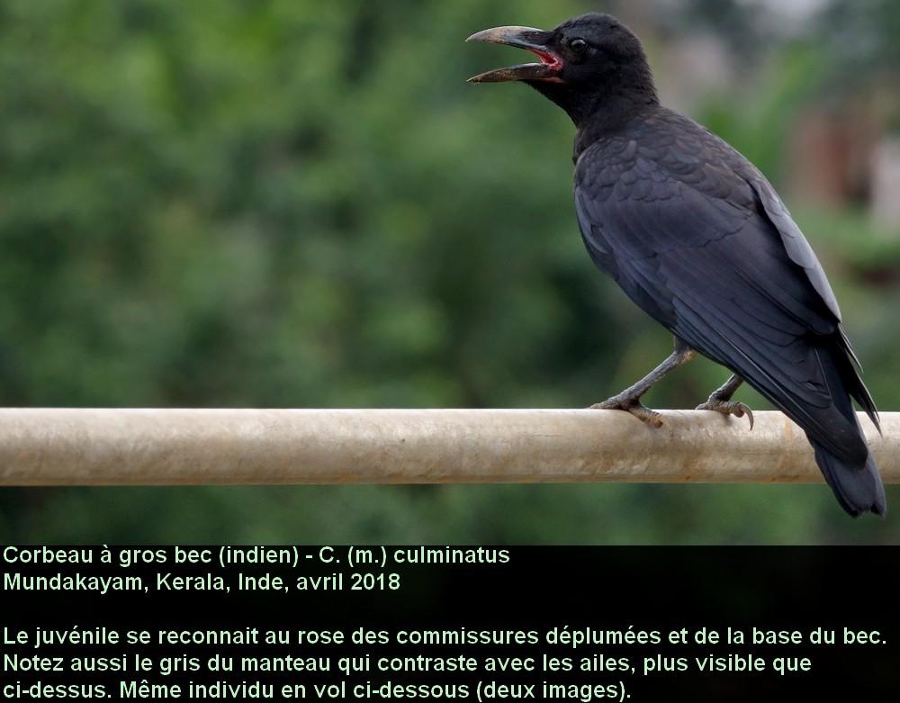 Corvus_macrorhynchos_4fr.jpg