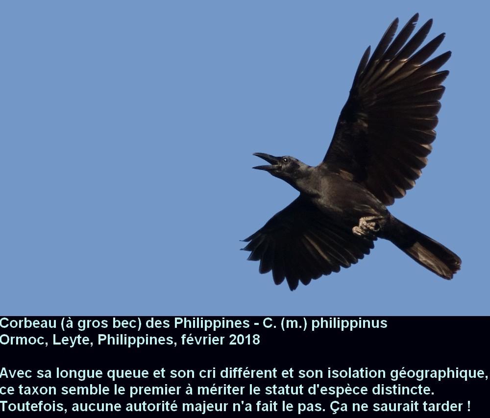 Corvus_macrorhynchos_7fr.jpg