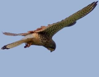 Falco_tinnunculus_frasnes